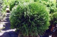 Туя западная 'Грин Глоб' <br>Thuja occidentalis 'Green Globe'