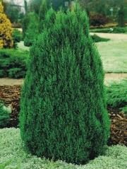 Можжевельник китайский Стрикта <br>Ялівець китайський Стрікта <br>Juniperus chinensis Stricta