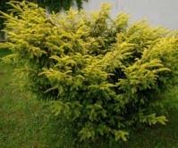 Тис ягодный Элегантиссима (жёлтый) <br>Тис ягідний Елегантиссіма (жовтий)<br>Taxus baccata Elegantissima