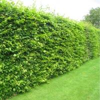 Граб обыкновенный <br>Граб звичайний <br>Carpinus betulus