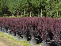 Барбарис тунберга Ред Рокет <br>Berberis thunbergii Red Rocket