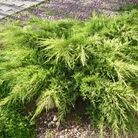 Можжевельник средний / пфитцериана Мордиган Голд <br>Ялівець середній / пфітцеріана Moрдіган Голд <br>Juniperus media / pfitzeriana Mordigan Gold