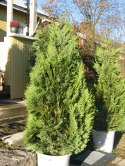 Кипарисовик Лавсона Вайт Спот <br>Chamaecyparis lawsoniana White Spot
