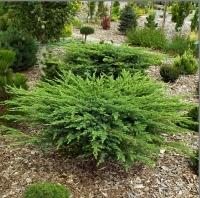 Можжевельник прибрежный Шлягер / Шлагер <br>Ялівець береговий Шлягер / Шлагер<br>Juniperus conferta Schlager
