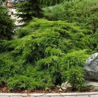 Можжевельник средний Пфитцериана Компакта <br>Ялівець середній Пфітцеріана Компакта <br>Juniperus media Pfitzeriana Compacta