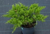 Можжевельник казацкий Рокери Джем <br>Ялівець козацький Рокері Джем <br>Juniperus sabina Rockery Gem