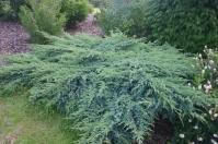 Можжевельник чешуйчатый Блю Свид / Ханнеторп <br>Ялівець лускатий Блю Свід / Ханнеторп <br>Juniperus squamata Blue Swede / Hunnetorp