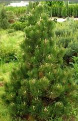 Сосна белокорая <br>Сосна білокора <br>Pinus leucodermis