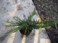 Можжевельник казацкий Там но Блайт <br>Ялівець козацький Там но Блайт <br>Juniperus sabina Tam no Blight