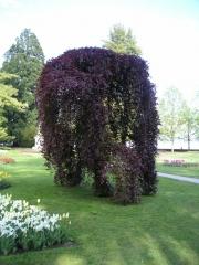 Бук лесной Пурпуреа Пендула <br> Бук лісовий Пурпуреа Пендула <br>Fagus sylvatica Purpurea Pendula