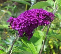 Буддлея Давида Роял Ред <br>Буддлея Давида Роял Ред <br>Buddleja davidii Royal Red