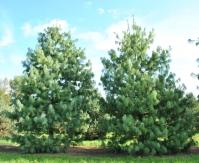 Сосна гималайская / Гриффита <br>Сосна гімілайська / Гріффіта <br>Pinus wallichiana / griffithii