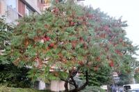 Сумах пушистый Уксусное дерево<br>Сумах пухнастий / Оцтове дерево <br>Rhus typhina