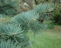 Пихта одноцветная Голубая <br>Abies concolor Glauca<br>Ялиця одноколірна голуба