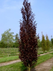Бук лесной Дэвик Пурпл <br> Бук лісовий Девік Пурпл<br> Fagus sylvatica Dawyck Purple