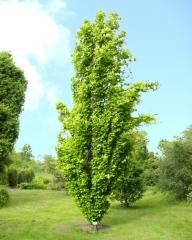 Бук лесной Дэвик Голд <br>Fagus sylvatica Dawyck Gold