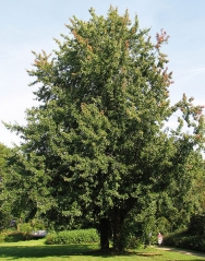Клён серебристый<br>Клен сріблястий <br>Acer saccharinum