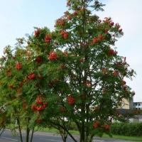 Рябина обыкновенная <br>Горобина звичайна<br>Sorbus aucuparia