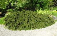 Кизильник горизонтальный <br>Кизильник горизонтальний <br>Cotoneaster horizontalis