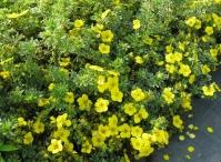 Лапчатка кустарниковая Соммерфлор <br>Лапчатка кущова Соммерфлор <br>Potentilla fruticosa Sommerflor