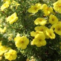 Лапчатка кустарниковая Кобольд <br>Лапчатка кущова Кобольд <br>Potentilla fruticosa Kobold