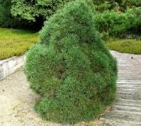 Сосна обыкновенная Глобоза Виридиз <br>Сосна звичайна Глобоза Вiрiдiз<br>Pinus sylvestris Globosa Viridis