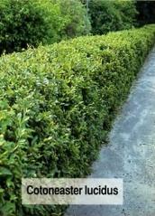 Кизильник блестящий <br>Кизильник блискучий <br>Cotoneaster lucidus