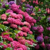 Гортензия крупнолистная Букет Роз <br>Гортензія крупнолиста Букет Троянд <br>Hydrangea macrophylla Bouquet Rose
