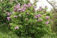 Сирень обыкновенная Бель де Нанси <br>Бузок звичайний Бель де Нансі <br>Syringa vulgaris Belle de Nancy