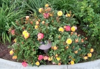 Роза полиантовая Триколор <br>Троянда поліантова Триколор <br>Rosa Tricolor