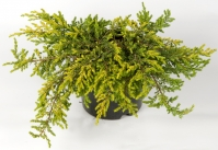 Можжевельник обыкновенный Голдшатц<br>Ялівець звичайний Голдшатц <br>Juniperus communis Goldschatz