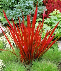 Императа цилиндрическая Ред Барон <br>Імперата циліндрична Ред Барон <br>Imperata cylindrica Red Baron