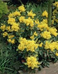 Магония падуболистная Аполло <br>Магонія падуболиста Апполо <br>Mahonia aquifolium Apollo