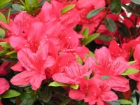 Рододендрон Мадам Галле / Азалия <br>Рододендрон Мадам Галле / Азалія <br>Rhododendron Madame Galle / Azalea