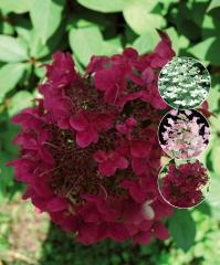 Гортензия метельчатая Вимс Ред ® <br>Гортензія метельчата Вімс Ред ® <br>Hydrangea paniculata Wim's Red ®