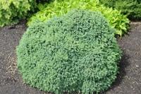 Ель канадская Эхиниформис <br>Ялина канадська Ехініформіс <br>Picea glauca Echiniformis