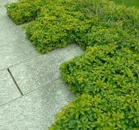 Пахизандра верхушечная Грин Карпет <br>Пахізандра верхівкова Грін Карпет <br>Pachysandra terminalis Green Carpet