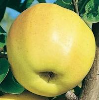 Яблоня домашняя Голден Делишес (зимняя) <br>Яблуня домашня Голден Делішес (зимова) <br>Malus domestica Golden Delicious