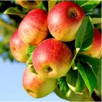 Яблоня домашняя Эрли Женева (летняя) <br>Яблуня домашня Ерлі Женева (літня) <br>Malus domestica Early Geneva
