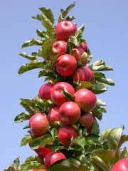 Яблоня колоновидная Останкино (осенняя) <br>Яблуня колоновидна Останкіно (осіння) <br>Malus Cоlumnar Ostankino