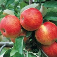 Яблоня домашняя Пинова (поздняя) <br>Яблуня домашня Пінова (пізня) <br>Malus domestica Pinova