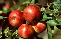 Яблоня Райская плодовая (осенняя) <br>Яблуня Райська плодова (осіння) <br>Malus Paradise Apple
