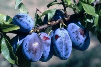 Слива домашняя Венгерка Юбилейная (средняя) <br>Слива домашня Угорка Ювілейна (середня) <br>Prunus domestica Hungarian Jubilee
