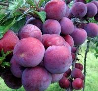Слива домашняя Ренклод Альтана (средняя) <br>Слива домашня Ренклод Альтана (середня) <br>Prunus domestica Renkloda Althana