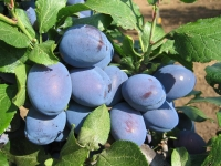 Слива домашняя Чачакская поздняя <br>Слива домашня Чачакська пізня <br>Prunus domestica Chachak Later
