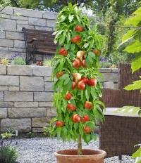 Персик колоновидный Сувенир (средний) <br>Персик колоновидний Сувенір (середній) <br>Prunus persica columnar Souvenir