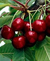 Вишня домашняя Шпанка (ранняя) <br>Вишня домашня Шпанка (рання) <br>Prunus cerasus Shpanka