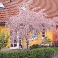 Тамарикс мелкоцветный <br>Тамарикс дрібноквітковий <br>Tamarix parviflora