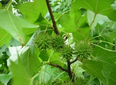 Бальзамическое дерево