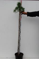 Модрина європейська Пулі штамб 1,2м